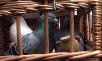 pigeons in basket, pre-flight